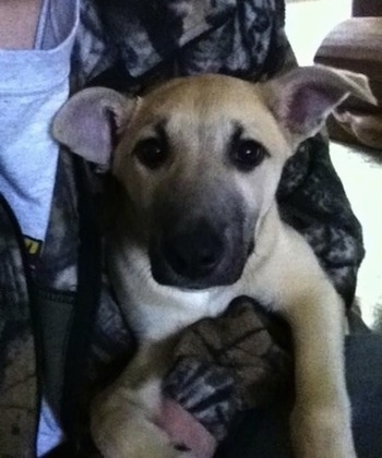 Sage the Carolina Dog as a puppy