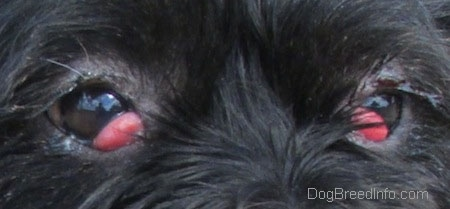 Close Up - Onyx the Terrier's brown eyes with red bulges coming from the inside corners