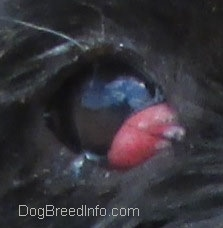 Close Up - dog's brown eye with a red bulging pocket in the inside corner