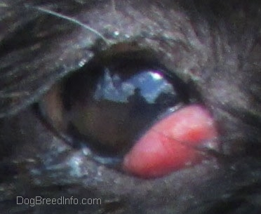 Close Up - a dog's eye with a red bulging pocket in the inside corner