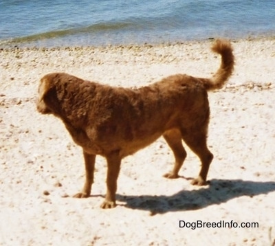 Val the Chesapeake Bay Retriever is standing on a beach and looking at the body of water behind it