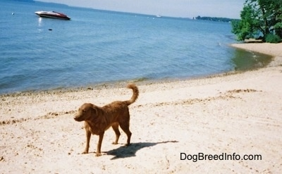Val the Chesapeake Bay Retriever is standing beachside and there is a boat in the water