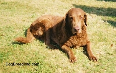Val the Chesapeake Bay Retriever is laying outside in a field