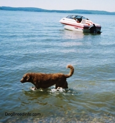 Val the Chesapeake Bay Retriever is walking through a body of water and there is a motor boat behind them