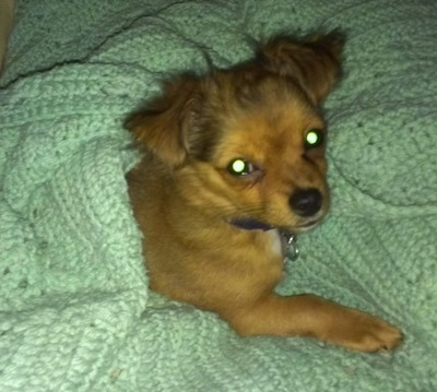 Logan the brown long-hair Chihuahua puppy is laying in and covered up by a mint green crocheted blanket