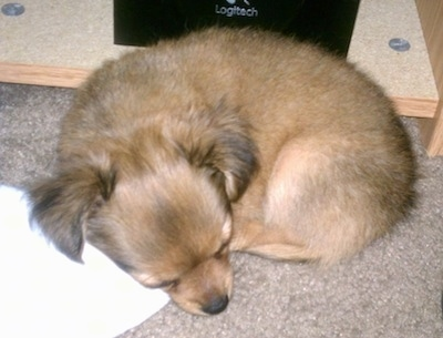 Close Up - Logan the long-hair Chihuahua puppy is sleeping on a carpet in front of a logitech speaker