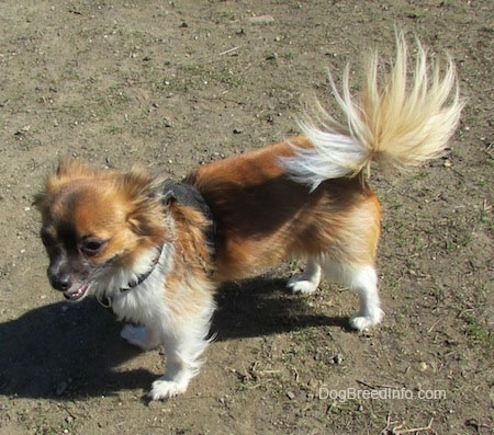 Marley the brown, black and white longhaired Chihuahua is standing outside on dirt and looking to the right