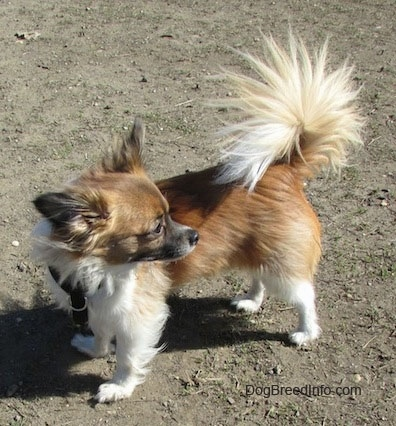 Marley the brown, black and white longhaired Chihuahua is standing on dirt and looking behind it