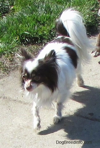 Java the brown and white longhaired Chihuahua is trotting down a street