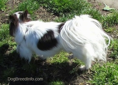 Java the dark brown and white longhaired Chihuahua is standing in grass and looking to its right