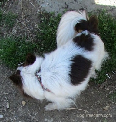 Java the dark brown and white longhaired Chihuahua is sniffing around in grass