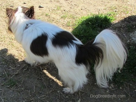Java the dark brown and white longhaired Chihuahua is walking across dirt and standing next to a patch of grass
