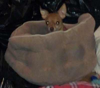 Lady Gaga the Chihuahua is laying in a tan dog bed. It is looking up and peeking over the side of the bed