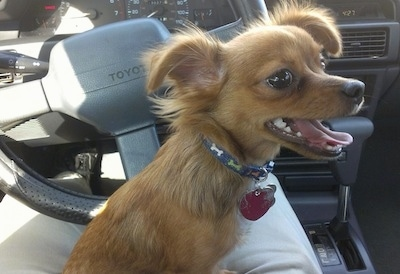 Logan the brown long-hair Chihuahua is sitting in a persons lap in the drivers side of a Toyota car.