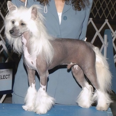 A hairless Chinese Crested is posed on a blue show dog table and there is a person behind him
