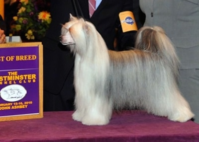 A Chinese Crested Powderpuff is posing on a show dog table and there is a person in a black suit with a badge that has - Pedigree - on it.