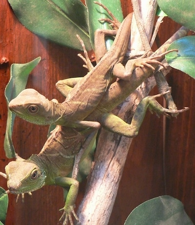 Two Chinese Water Dragons are standing upside down on a tree branch on top of one another. One is looking forward and the other one is looking to the left.