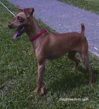 Chipin standing outside in grass with a red collar and looking to the left