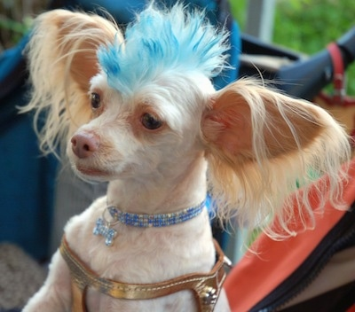 Close Up - Tuffy the Chipoo has very large fringe ears that stick straight out to the sides and a blue Mohawk. He is wearing a blue and white diamond collar and dog tag and a golden colored harness