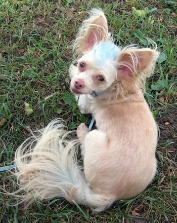 Tuffy the Chipoo has a blue Mohawk and very large ears and is laying outside in grass and looking up at the camera holder. His coat is short on his body and longer on his tail, ears and head