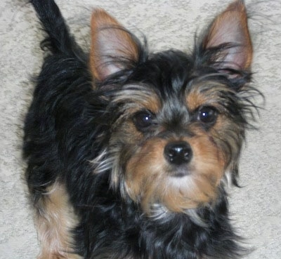Chorkie Dog Breed Information And Pictures
