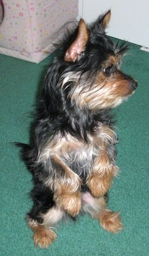 Little Heidi the black and tan Chorkie puppy is sitting on her hind legs on a green carpet with her paws up in the air and looking to the right