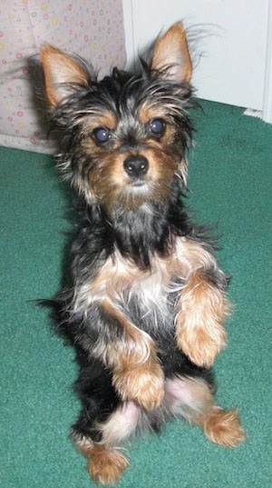 Little Heidi the black and tan Chorkie puppy is sitting on a green carpet in a house on her hind legs and looking toward the camera holder