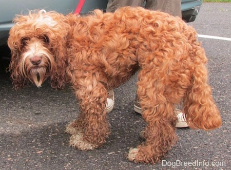 Matty the curly brown with white Cockapoo is standing in front of a car in a parking lot