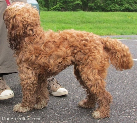 Matty the Cockapoo is standing in a parking lot and looking up at a person leaning against a car