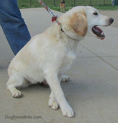 Side view - A panting, tan with white Cockapoo/Labrador Retriever mix is on a leash with someone holding the other end sitting on a concrete surface. Its mouth is open and tongue is out. It is looking and pulling to the right.
