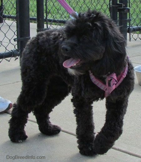 Milly the black Cockapoo is walking across a concrete path. Millys mouth is open and tongue is out. She is wearing a pink harness and leash