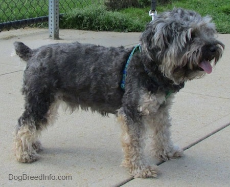 Right Profile - A wavy coated, grey with tan Cockapoo/Yorkie mix is standing on a concrete surface. Its mouth is open and tongue is out