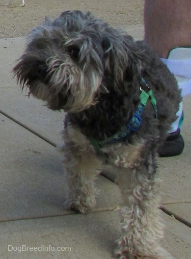 View from the front - A wavy-coated, grey with tan Cockapoo/Yorkie mix breed dog is walking down a concrete surface and looking to the left. There is a person with an Ankle brace behind it.