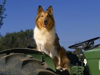 Buddy the tan, white and black Rough Collie is sitting on a parked green tractor. His mouth is open and it looks like he is smiling