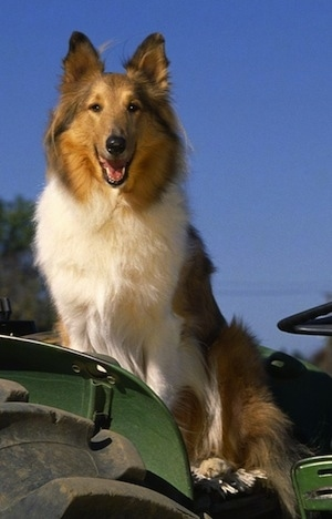 Close Up - Buddy the Rough Collie is sitting on a green parked tractor with the blue sky behind him. His mouth is open and it looks like he is smiling