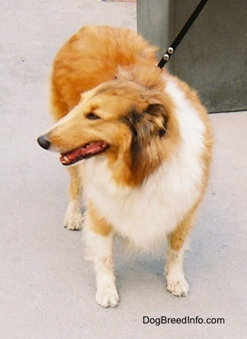 A brown, white, and black Rough Collie is standing on a concrete walkway and looking to the left with a trash can behind it