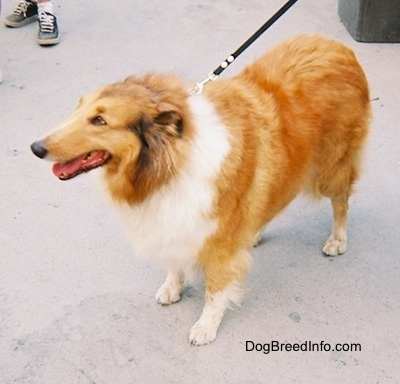 A tan, white and black Rough Collie is standing on a concrete street and its mouth is open and tongue is out