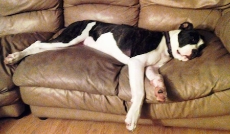 Daisy the black and white Colorado Bulldog is stretched out laying on a brown leather couch