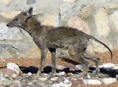 The left side of a Coyote with a bad case of mange and it is standing on rocks