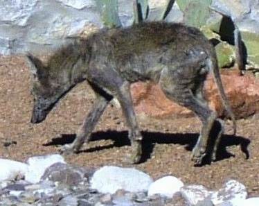 The left side of a Coyote with a bad case of mange walking across dirt