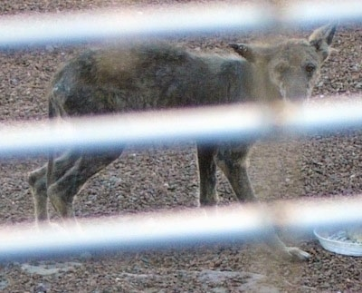 Picture taken through a fence - Coyote with a bad case of mange walking in dirt
