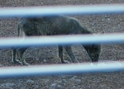 Picture taken through a fence - Coyote with a bad case of mange eating out of a food bowl