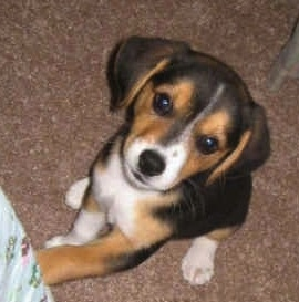 Close Up - Bailey the Crested Beagle puppy is sitting on a brown carpet with its paw on the leg of a person and looking up