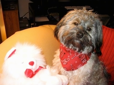 Buddy of Mine the dog is sitting on a yellow beanbag chair next to a white plush teddy bear. He is wearing a red bandana