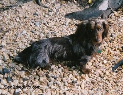 Elvis the long-haired dapple Dachshund is sitting on a large amount of rocks. There are pieces of wood behind him.