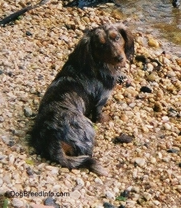 Elvis the long-haired dapple Dachshund is sitting on rocks in front of a body of water and looking back towards the camera
