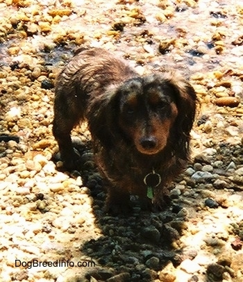 Elvis the long-haired dapple Dachshund is standing on wet rocks