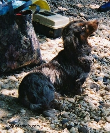 Elvis the long-haired dapple Dachshund is sitting on rocks and there is a couple bags behind it and a box of fishing lures
