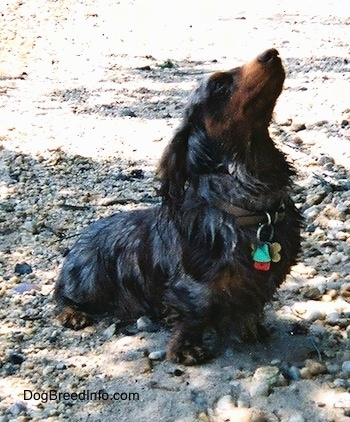 Elvis the long-haired dapple Dachshund is sitting on beach side rocks and looking up