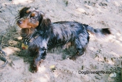 Elvis the long-haired dapple Dachshund is wet and standing in sand